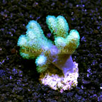 Biota Cultured Fuzzy Fat Finger Leather Coral (click for more detail)