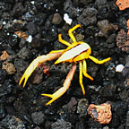 Squat Lobster, Yellow/Black/White (click for more detail)
