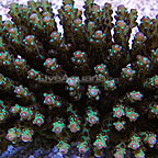 Aussie Bottlebrush Acropora Coral (click for more detail)