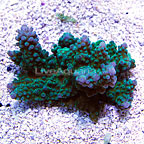 Tabling Acropora Coral Fiji (click for more detail)