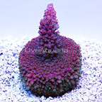 DFS Original Red Shortcake Acropora Coral (click for more detail)