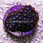 DFS Purplelicious Cyphastrea Coral (click for more detail)