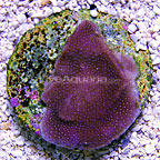 TCN Mike Paletta's Purple Porites Coral (click for more detail)