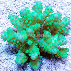 Branching Acropora Coral Fiji (click for more detail)
