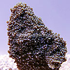 ORA® Periwinkle Plating Montipora Coral (click for more detail)