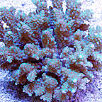 Bushy Acropora Coral Fiji (click for more detail)