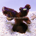 Reef Gen Legacy San Jose's Purple Milka Stylophora Coral (click for more detail)