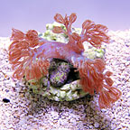ORA® Blue Cespitularia Coral (click for more detail)