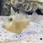 Caribbean Queen Triggerfish Juvenile (click for more detail)