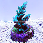 DFS Longberry Acropora Coral (click for more detail)