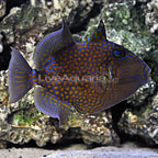 Blueline Triggerfish Adult (click for more detail)