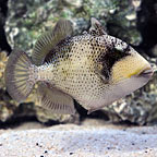 Titan Triggerfish (click for more detail)