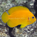 Cocos Lemonpeel Angelfish (click for more detail)