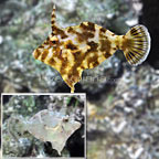 Bristletail Filefish (Bonded Pair) (click for more detail)