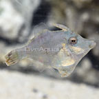 ORA® Captive-Bred Bristletail Filefish (click for more detail)