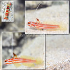 Yasha Goby (Bonded Pair) with Red Banded Pistol Shrimp (click for more detail)