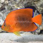 Bali Aquarich Captive-Bred Clarion Angelfish (click for more detail)