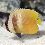 Orange Butterflyfish  (click for more detail)