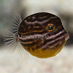 Ornate Thornback Trunkfish Female [Expert Only] (click for more detail)