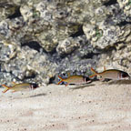 Clearfin Squirrelfish (Trio) (click for more detail)