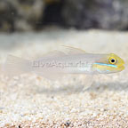 Sleeper Gold Head Goby (click for more detail)