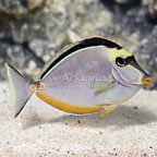 Naso Tang Female (click for more detail)