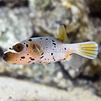 Yellowbelly Dogface Puffer  (click for more detail)