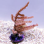 ORA® Grube's Gorgonian Coral (click for more detail)