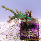 DFS Screaming Green Tree Coral (click for more detail)