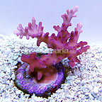 DFS Red Dragon Acropora Coral (click for more detail)
