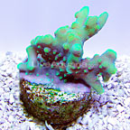 DFS Kiwi Abyss Acropora Coral (click for more detail)