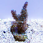 DFS Azurite Acropora Coral (click for more detail)