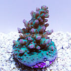 ORA® Mirconesian Pink and Green Acropora Coral (click for more detail)