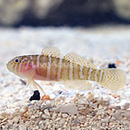 ORA® Captive Bred Girdle Goby (click for more detail)