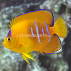 Bali Captive Bred Clarion Angelfish Juvenile - Blemish (click for more detail)