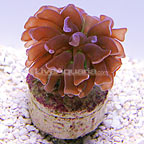 Aquacultured Hammer Coral (click for more detail)