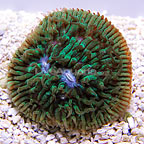 Reef Gen Legacy Purple Eyed Green Lithophyllon Coral (click for more detail)