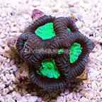 Reef Gen Neon Green Eye Cortez Favia Coral (click for more detail)