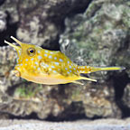 Longhorn Cowfish (click for more detail)