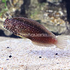 Starry Blenny (click for more detail)
