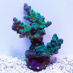 Reef Gen Legacy Joe's Green Titan Acropora Coral (click for more detail)