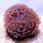 ORA® Micronesian Hammer Coral (click for more detail)