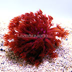 ORA® Red Goniopora Coral (click for more detail)