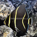Black Angelfish Changing (click for more detail)