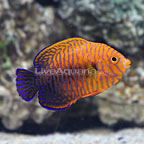 Potter's Angelfish (click for more detail)
