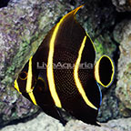 French Angelfish Transitioning (click for more detail)