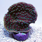 DFS XL Green Polyp Turbinaria Coral (click for more detail)