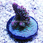 ORA® Red Planet Table Acropora Coral (click for more detail)