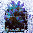 TCN Ultra Deep Blue and Green Tenuis Acropora Coral (click for more detail)