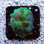 TCN Yellow Tortuosa Acropora Coral (click for more detail)